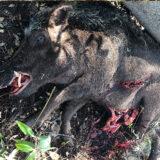 Fake Boar
